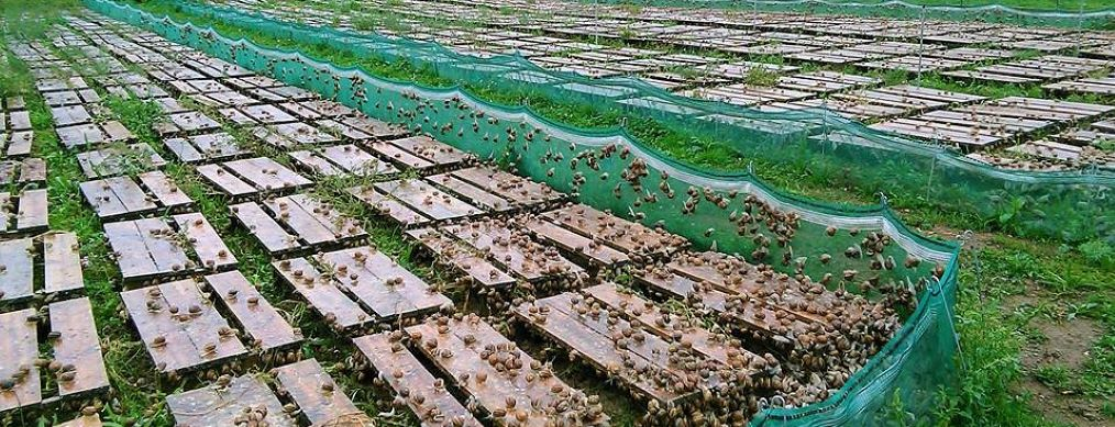 Production hélicicole (escargots) en Auvergne : Antoine Chenard