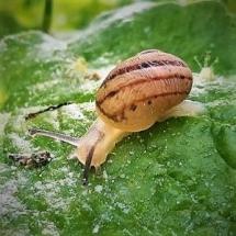 Elevage d'escargots en Auvergne : l'escargot des Murailles