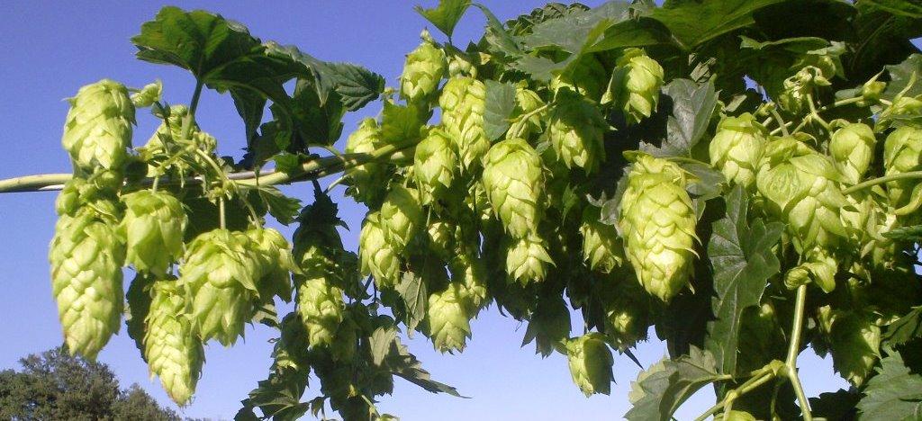 bière artisanale produite avec le houblon sauvage d'Auvergne