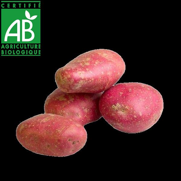 Pommes de terre variété Désirée en agriculture biologique
