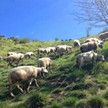 GAEC Lou Pastre : agneaux bio en Auvergne