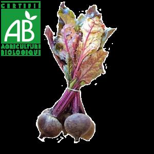 Betteraves AB élevée en Agriculture biologique en botte Auvergne