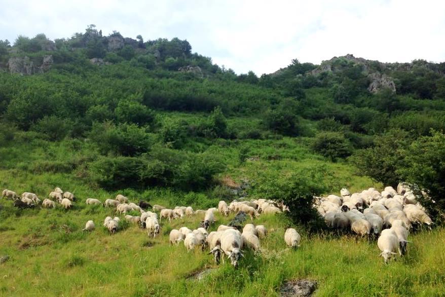 Elevage agneau en Auvergne , Producteurs viande agneaux bio
