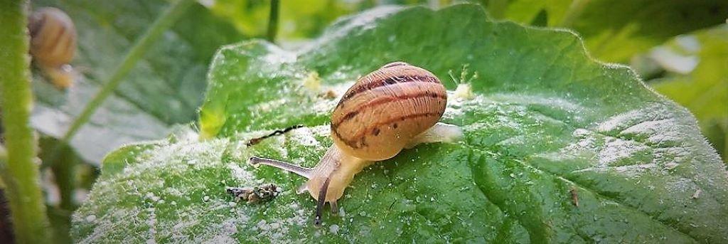 l'escargot des Murailles : élevage d'escargots en Auvergne :