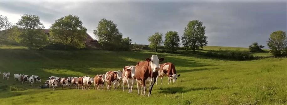 Production à la ferme du Fromage au lait entier : la fourme d'Ambert