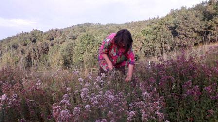 plantes médicinales et aromatiques en Auvergne - agriculture biologique