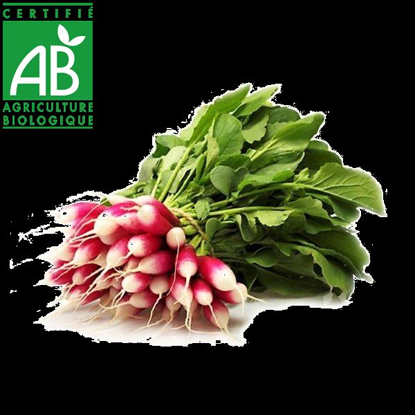 Radis cultivés en Auvergne en agriculture biologique