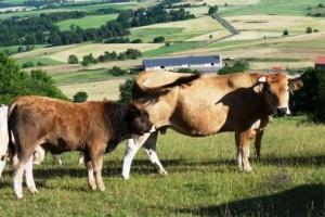 Veaux et vaches de races Aubrac dans le Cantal - Auvergne