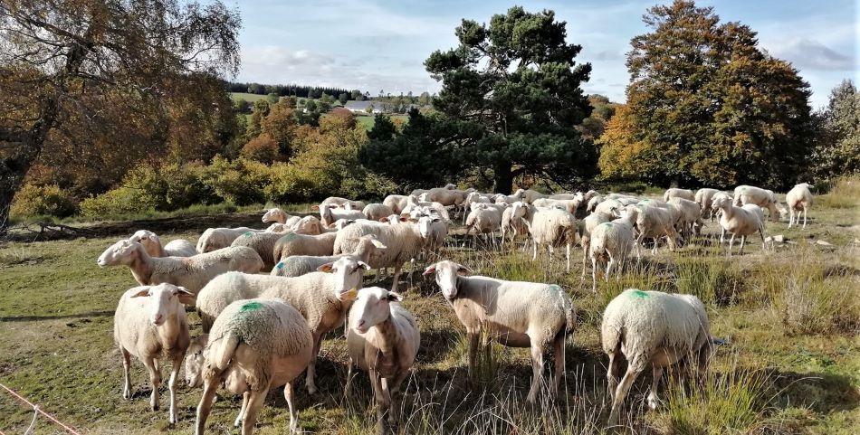 Agneau produit à la ferme du Put de Coujoule - Cantal Auvergne